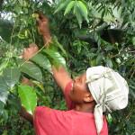 Kahvi kasvatetaan tiloilla sekaviljelynä