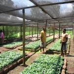 KNCU:n taimitarha testaa ja tuottaa uusia lajikkeita